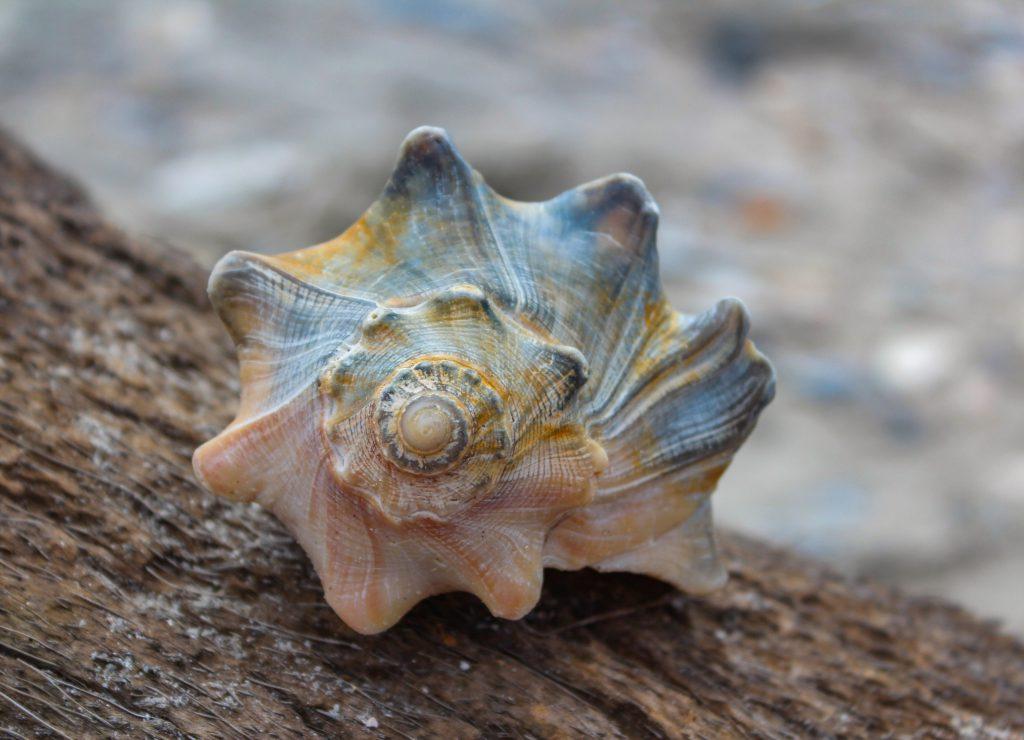 Whelk shell near the Atlantic Ocean.